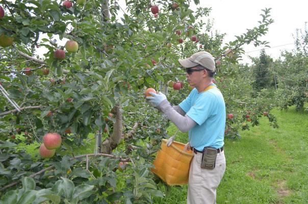 シナノレッドは熟度を確認しながらの収穫