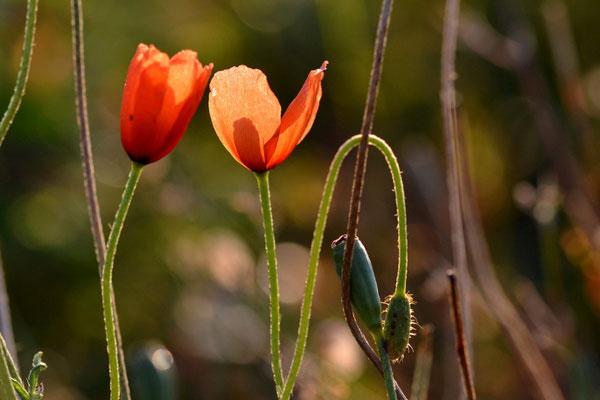 Les fleurs du plateau ardéchois - Cros de Géorand (Daphné)