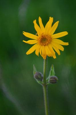 Les fleurs du plateau ardéchois - Cros de Géorand (Audrey)