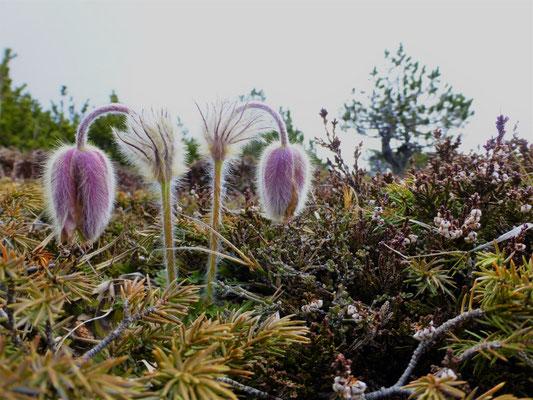 Les fleurs du plateau ardéchois - Cros de Géorand (Céline)