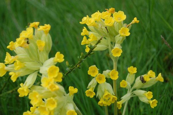 Les fleurs du plateau ardéchois - Cros de Géorand (Catherine)