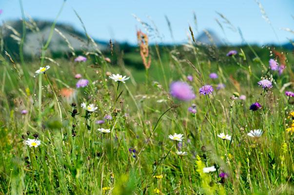 Les fleurs du plateau ardéchois - Cros de Géorand (Philippe)