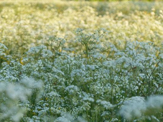 Les fleurs du plateau ardéchois - Cros de Géorand (Clément)