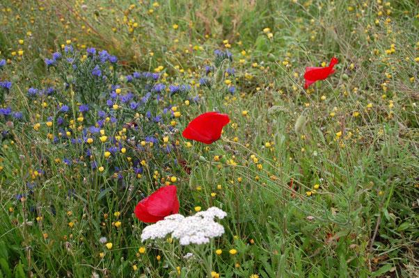 Les fleurs du plateau ardéchois - Cros de Géorand (Manu)