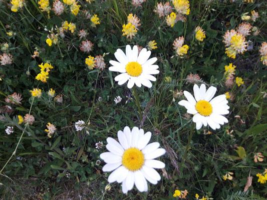 Les fleurs du plateau ardéchois - Cros de Géorand (Sophie)