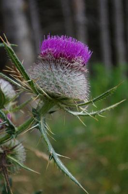 Les fleurs du plateau ardéchois - Cros de Géorand (Sylvie)