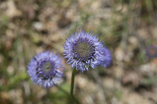 Les fleurs du plateau ardéchois - Cros de Géorand (Bernard)