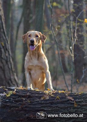 Labrador Sunny Birchgrove