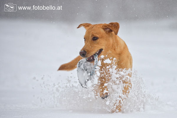 Labrador Sunny  im Schnee