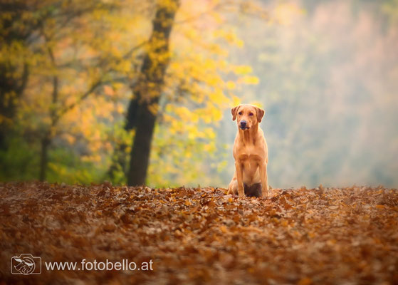 Labrador im Herbst - Sunny