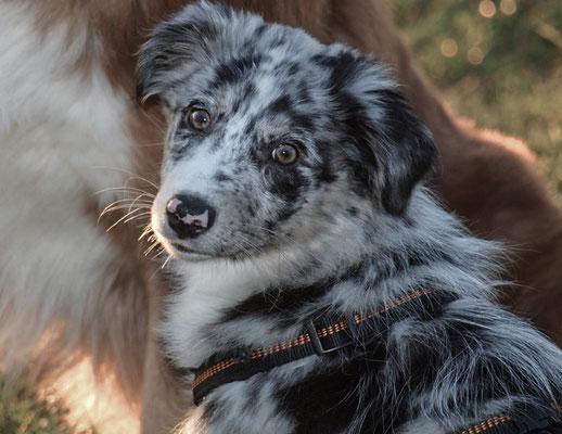 "Australian Shepherd Hündin ""Elli"""