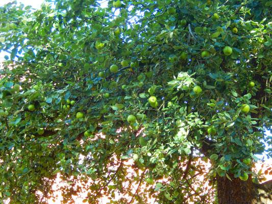 リンゴの木 | Apple tree