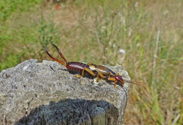 Forficula auricularia - Gewone Oorworm (Corsica)