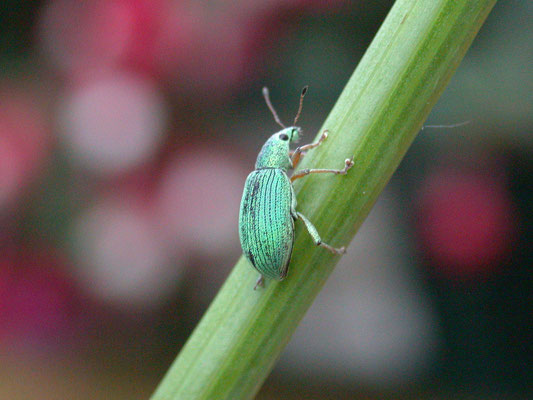 Polydrusus formosus - Groene struiksnuitkever