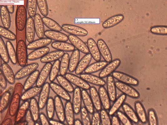 Sarcoscypha coccinea - Rode kelkzwam