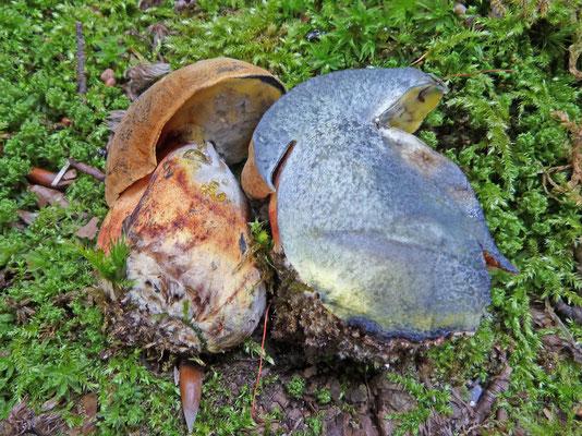 Cyanoboletus pulverulentus - Inktboleet