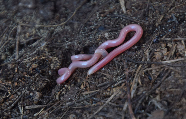 Simon Worm Snake (Rhinotyphlops simoni)