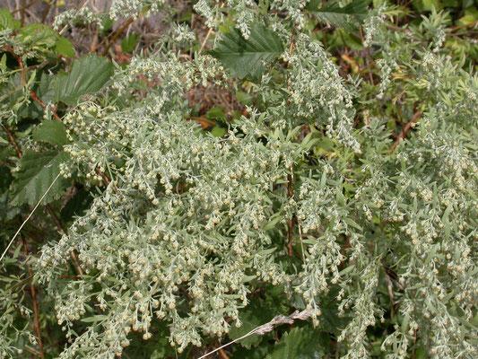Artemisia absinthium - Absintalsem