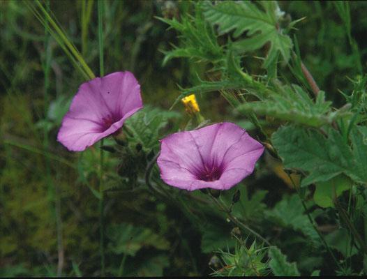 Convolvulus althaeoides - Heemstbladige winde