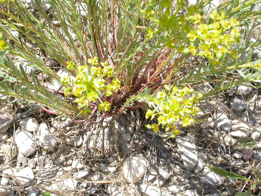 Euphorbia esula - Heksenmelk