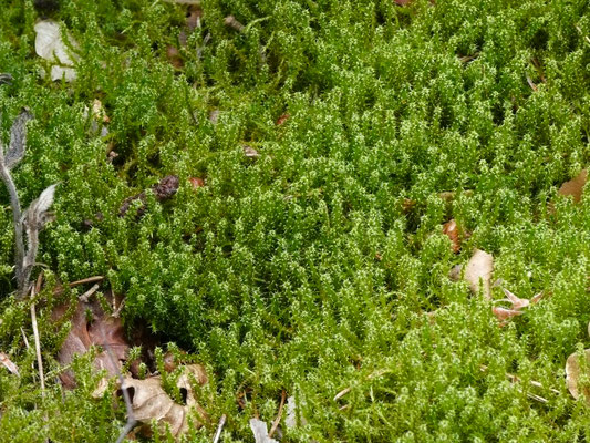 Rhytidiadelphus squarrosus - Gewoon haakmos