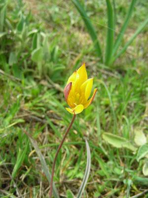 Tulipa australis -  Zuidelijke tulp