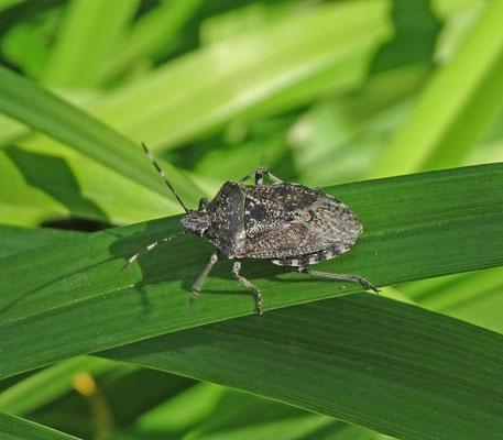 Rhaphigaster nebulosa - Grauwe schildwants