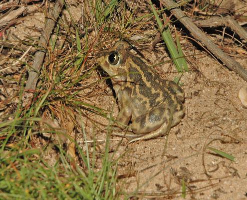 Pelobates cultripes - Iberische knoflookpad