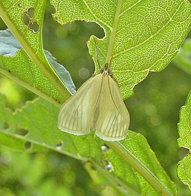 Sitochroa palealis - Bruidsmot
