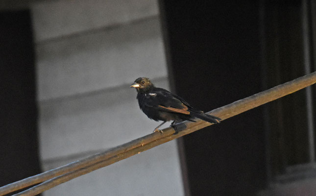 White-lined Tanager, juvenile male