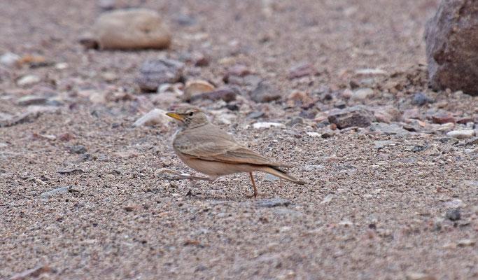 Woestijnleeuwerik