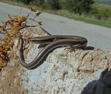 Ablepharus kitaibelii - Johannesskink, Slangenoogskink
