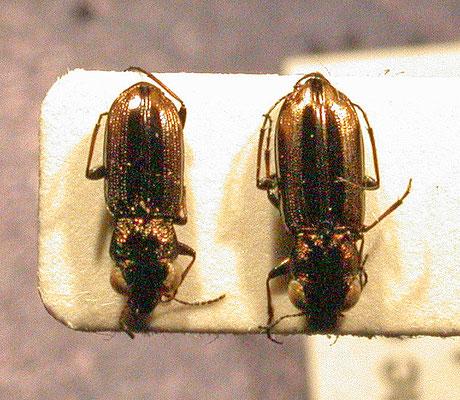 Notiophilus substriatus