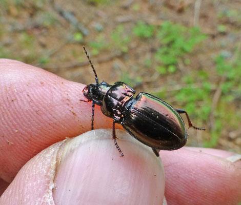 Pterostichus metallicus