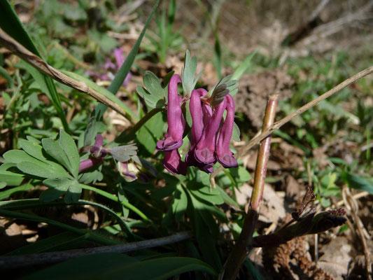 Corydalis solida - Vingerhelmbloem