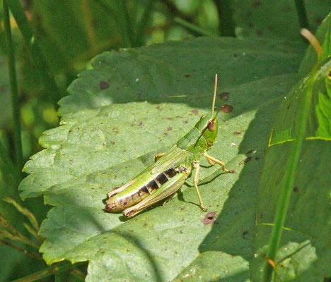 Chorthippus montanus - Zompsprinkhaan