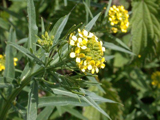 Erysimum cheiranthoides - Gewone steenraket