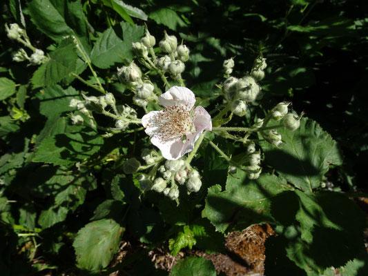 Rubus armeniacus - Dijkviltbraam