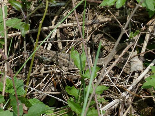 Lacerta viridis (Oostelijke smaragdhagedis)