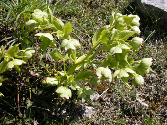 Helleborus viridis - Wrangwortel