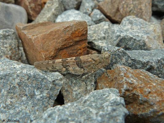 Sphingonotus caerulans - Kiezelsprinkhaan