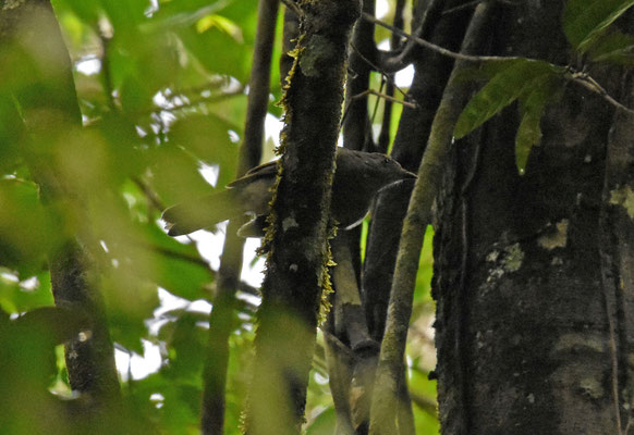 Buff-throated Foliagecleaner