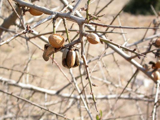 Prunus dulcis - Amandel