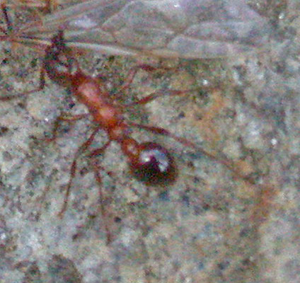 Myrmica species, Tirol, Oostenrijk