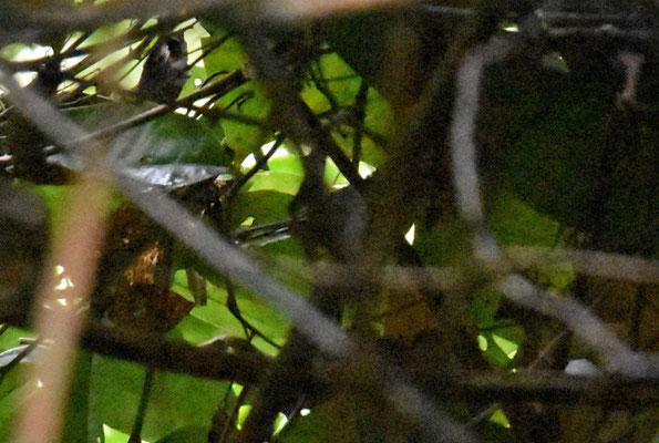 Dot-winged Antwren, female
