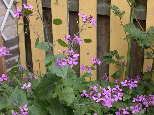 Lunaria annua - Judaspenning
