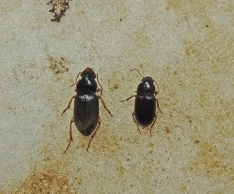 Harpalus griseus en Harpalus rufipes - Aardbeiloopkever