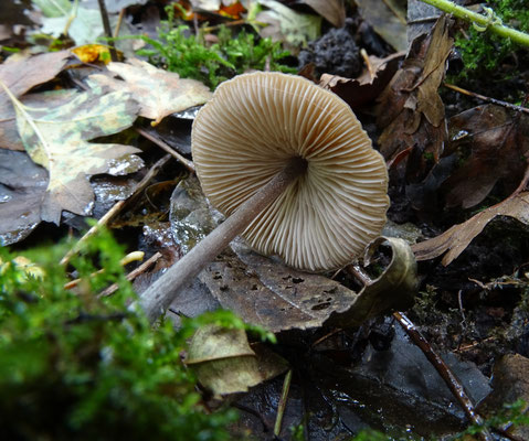 Entoloma species