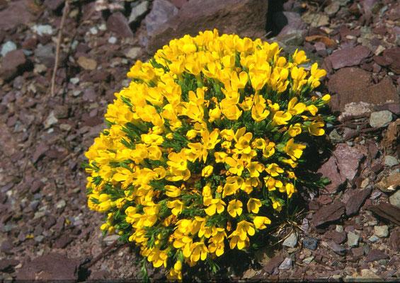 Vitalania primuliflora - Donati's vitalania
