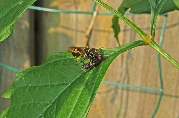 Mellinus arvensis - Gewone Vliegendoder
